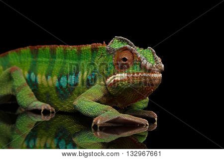 Sneaking Panther Chameleon, reptile with colorful body on Black Mirror, Isolated Background