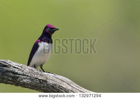 Specie Cinnyricinclus leucogaster family of Sturnidae, violet backed starling on a branch in Kruger Park