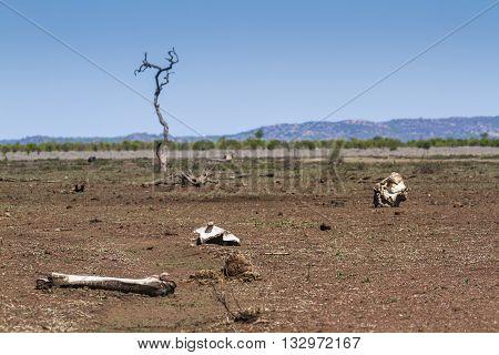 dry savannah and bones in Mopani, South Africa