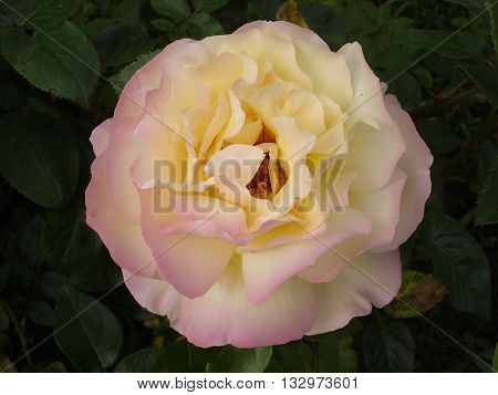 One hybrid tea rose flower 'Gloria Dei'.