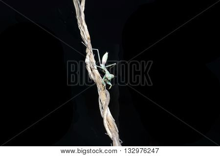 A Praying Mantis crawling on a piece of twine