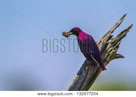 Specie Cinnyricinclus leucogaster family of Sturnidae, violet backed starling feeding in Kruger Park