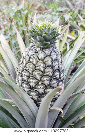 Big Fresh Pineapple On Tree In Green Garden Tropical Farm View Background, Closeup Pineapple Fruit