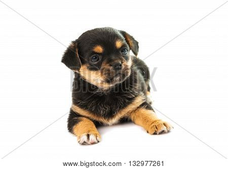 black, doggy puppy isolated on white background