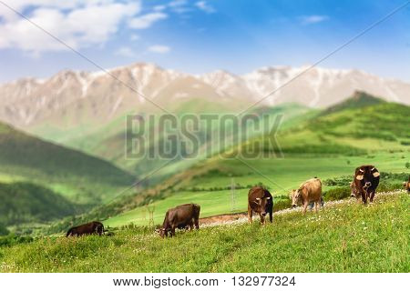 Herd of cows grazing on green meadow in mountains of Armenia