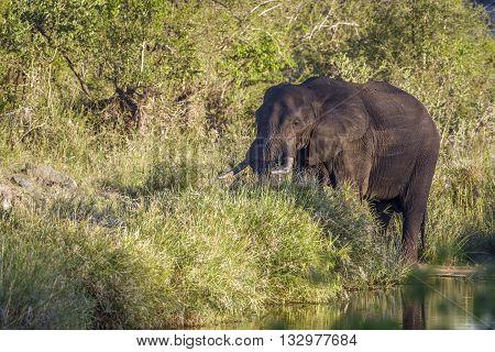 Specie Loxodonta africana family of Elephantidae, african bush elephant walkingin in the riverbank, Kruger park