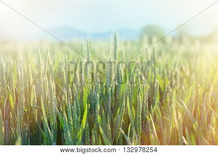 Green wheat - unripe wheat (wheat field) lit by sun rays