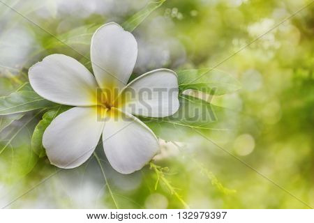 Blossom White And Yellow Flower Plumeria Or Frangipani Put On Green Leaf With  Happy Morning Mood An