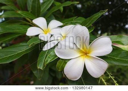 Blossom White And Yellow Flower Plumeria Or Frangipani Put On Green Leaf With  Happy Morning Mood Fo