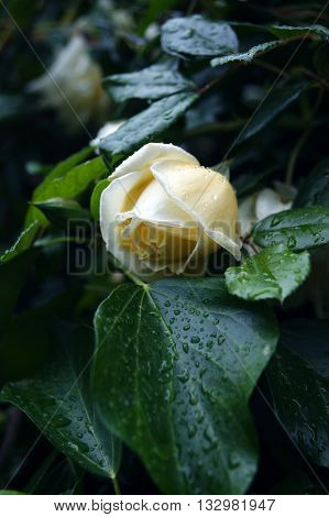 Bud of a white rose among green foliage, wet after the rain