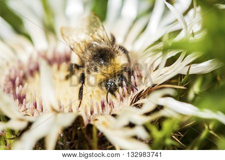 Bumblebee Collecting Pollen From A Welted Thistle Flower