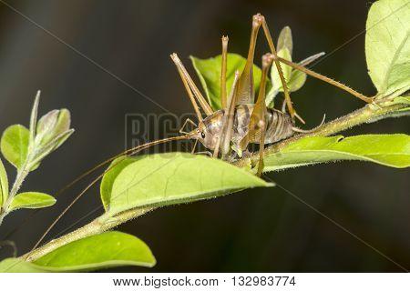 Camel Cricket On A Plant