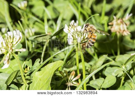 Honeybee Collecting Pollen From A Trefoil Flower