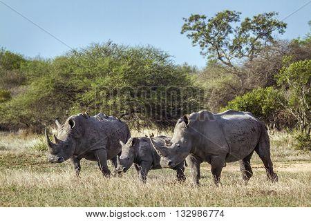 Specie Ceratotherium simum simum family of Rhinocerotidae, family of white rhinoceros walking in the bush