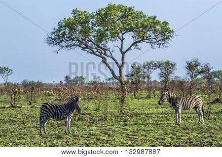 Specie Equus quagga burchellii family of Equidae, wild zebras standing in the bush in Kruger Park