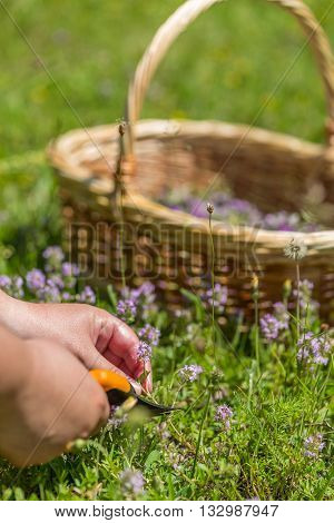 Woman collecting wild oregano flower, outdoor shot
