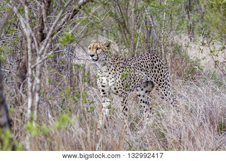 Specie Acinonyx jubatus family of felidae, wild cheetah in the bush, Kruger park