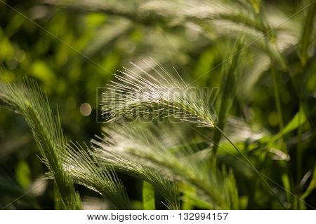 Spikelets in the grass at sunrise. Nature background