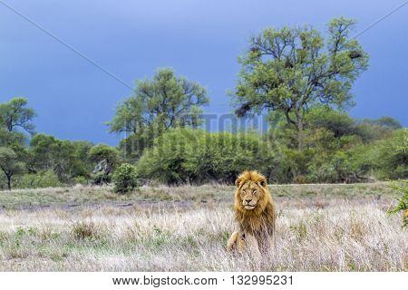 Specie Panthera leo family of felidae, wild male lion having a nap in savannah in Kruger Park