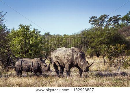 Specie Ceratotherium simum simum family of Rhinocerotidae, family of wild white rhinoceros in the bush