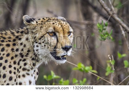 Specie Acinonyx jubatus family of felidae, portrait of a wild cheetah in the bush, Kruger Park