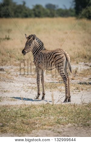 Baby Burchell's Zebra Standing Looking At Camera