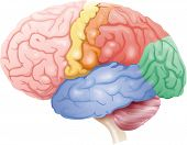 stock photo of temporal lobe  - color diagram of the brain - JPG