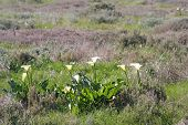 stock photo of fynbos  - a group of arum lilies in an open field with purple foliage as a background - JPG