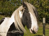 image of shire horse  - A Shire Horse who just loved the camera - JPG