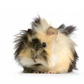 image of guinea pig  - angora guinea pig against a white background - JPG