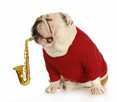 image of musical instruments  - english bulldog playing musical instrument with reflection on white background - JPG