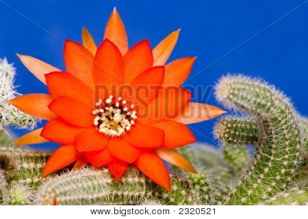 Flower Of The Cactus