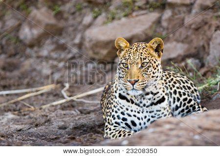 Hombre joven leopardo