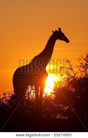 Silueta de la jirafa