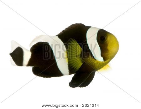 Saddleback Clownfish - Amphiprion Polymnus