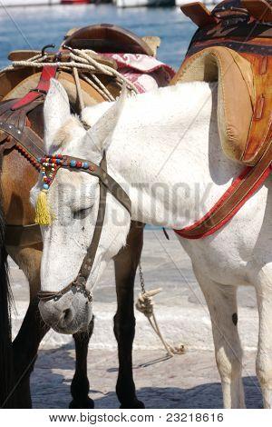 White Mule
