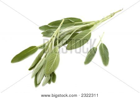 Branch Of Salvia On White Background