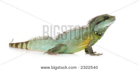 Indian Water Dragon - Physignathus Cocincinus