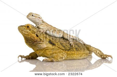 Lawson'S Dragon - Pogona Henrylawsoni