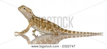 junge lawson's Dragon Pogona henrylawsoni