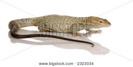 Monitor Lizard - Mittelstrifen Monitor - Varanus Tristis Orientalis