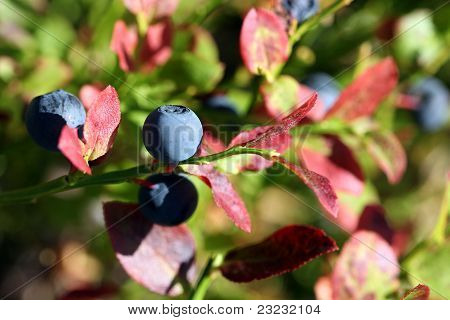 Bilberry (Vaccinium Myrtillus) In Autumn Colors