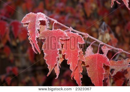 Frosty Maple Leaves 2
