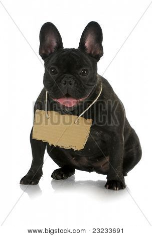 french bulldog wearing cardboard sign around neck on white background