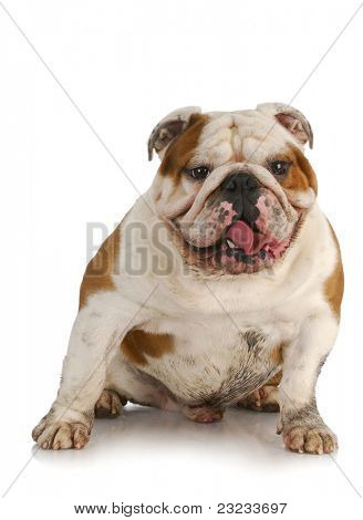dirty dog - english bulldog muddy from playing outside on white background