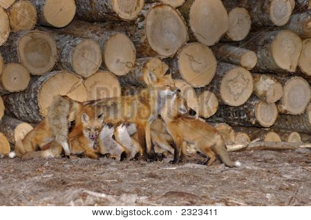 Family Of Foxes Nursing