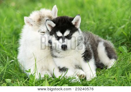 two little sleeping puppy of Siberian husky dog of one month on green grass
