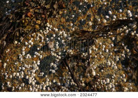 Barnacles On Tidepool Granite Boulder
