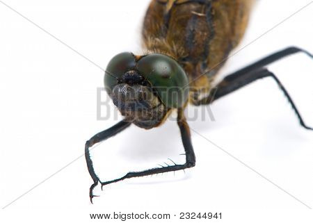 Orthetrum anisóptero. Hombre libélula de Skimmer de cola negra sobre fondo blanco.