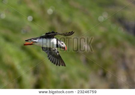 Atlantic Puffin or Common Puffin, Fratercula arctica, in flight on Mykines, Faroe Islands